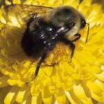 Propolis – das Wundermittel der Bienen