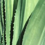 Aloe Vera Gel – Innerlich und Äußerlich