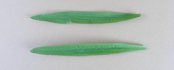 Spitzwegrich - Blätter