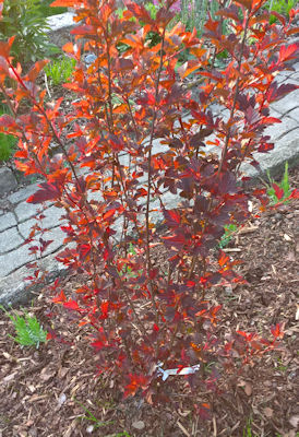 Teufelsstrauch - Physocarpus opulifolius Diabolo ®