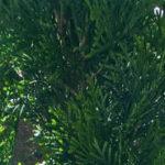 Lebensbaum Smaragd als Hecke im Garten