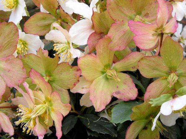 Christrose - Blattverfärbung nach Blüte