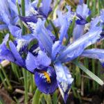 Netzblatt-Iris