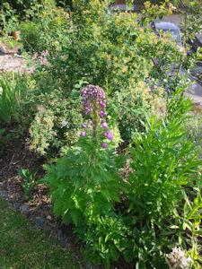 Unser Garten Delphinium